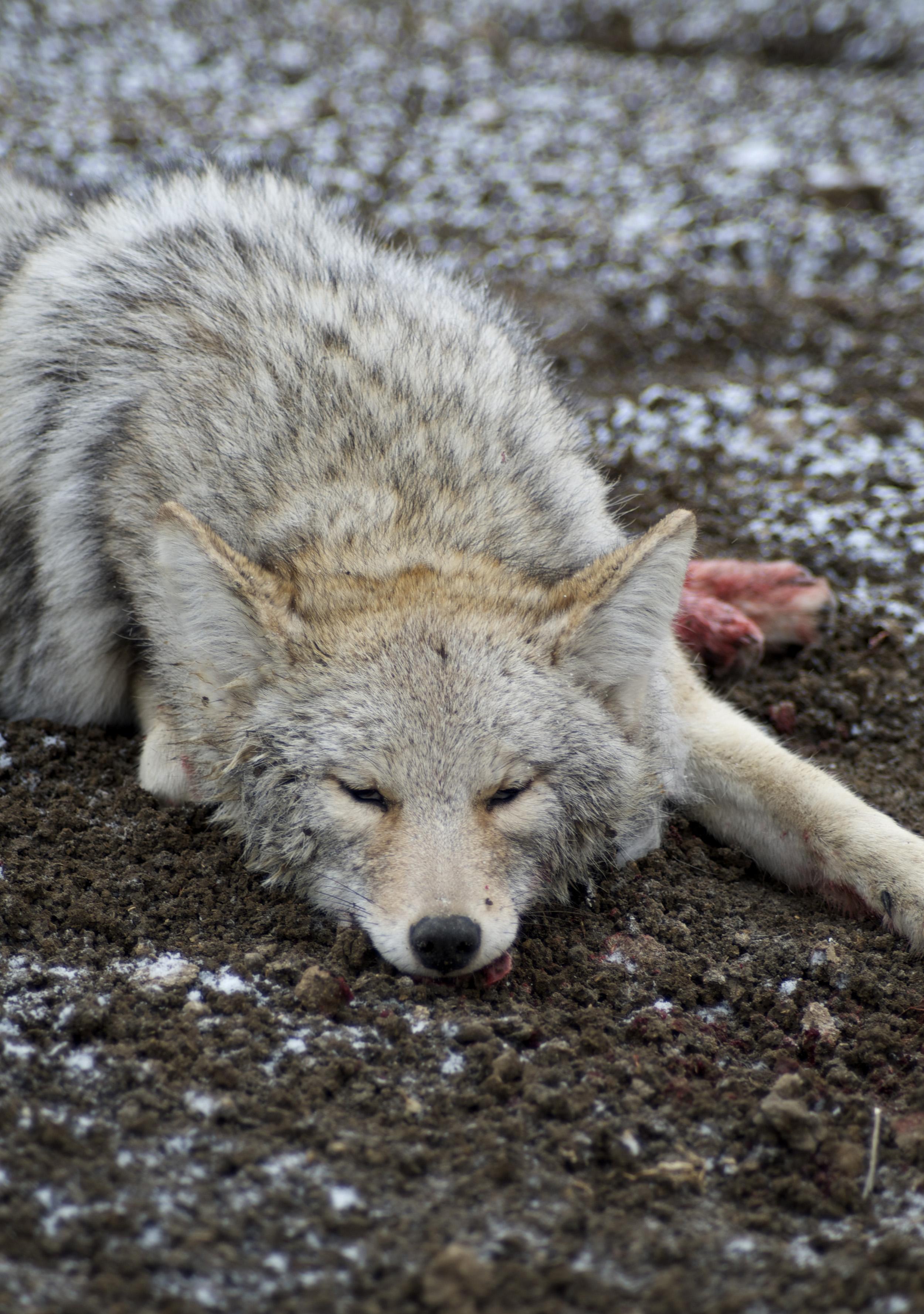 coyote hunting, Montana, Montana Wild, predator hunting, MT, calling, howling, distress calls, Primos, Nikon, Remington, Sitka