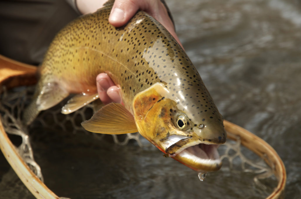Montana Wild, spring fishing, fly fishing, Brownes Lake, cutthroat, brown trout, Highway 200, elk, MT