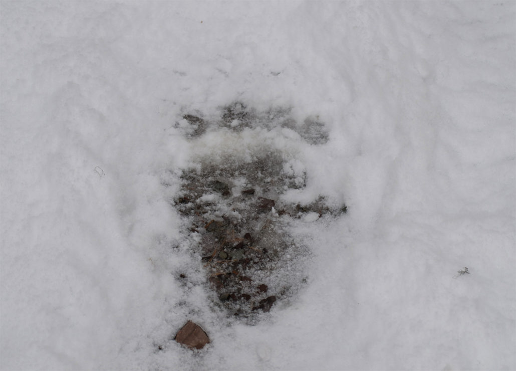 Montana Grizzly paw print, montana grizzly, hunting with grizzlies, track, elk, wolves