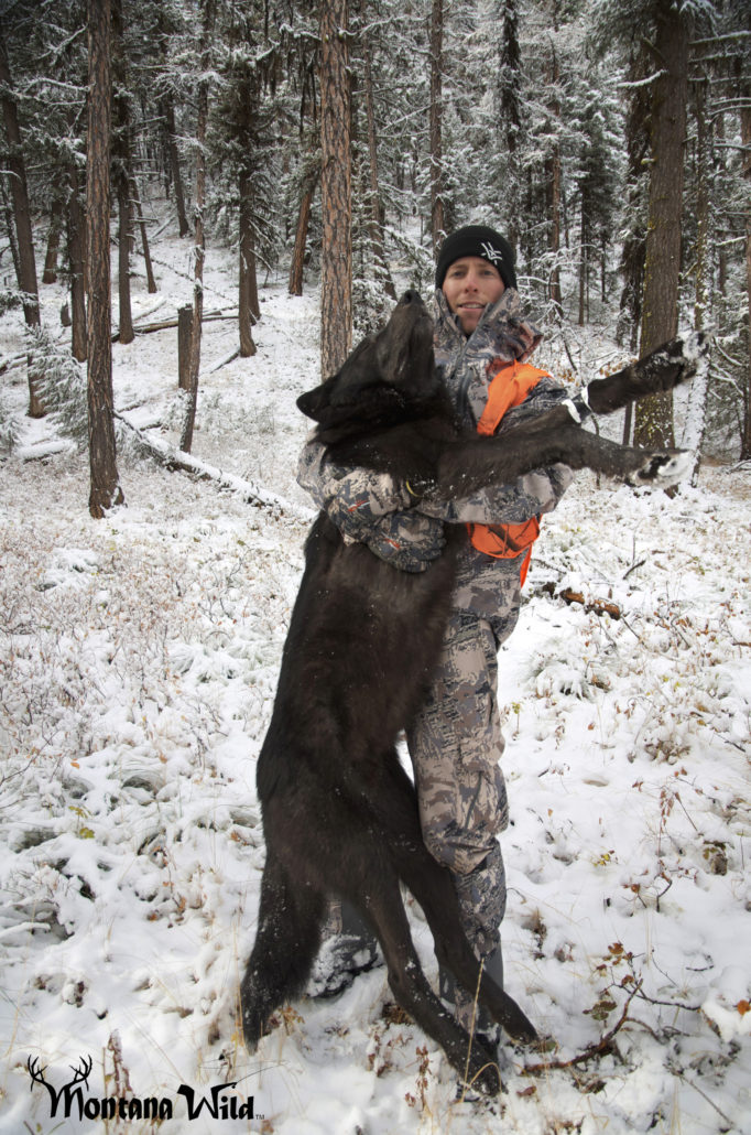 Montana Black wolf, wolf hunting montana, huge montana black wolf, legal wolf hunting, Montana wolf tag, Wolf hunting, amazing wolf photo, Montana Wild, best hunting video, sitka stormfront jacket, vortex optics, 2012 wolf kills