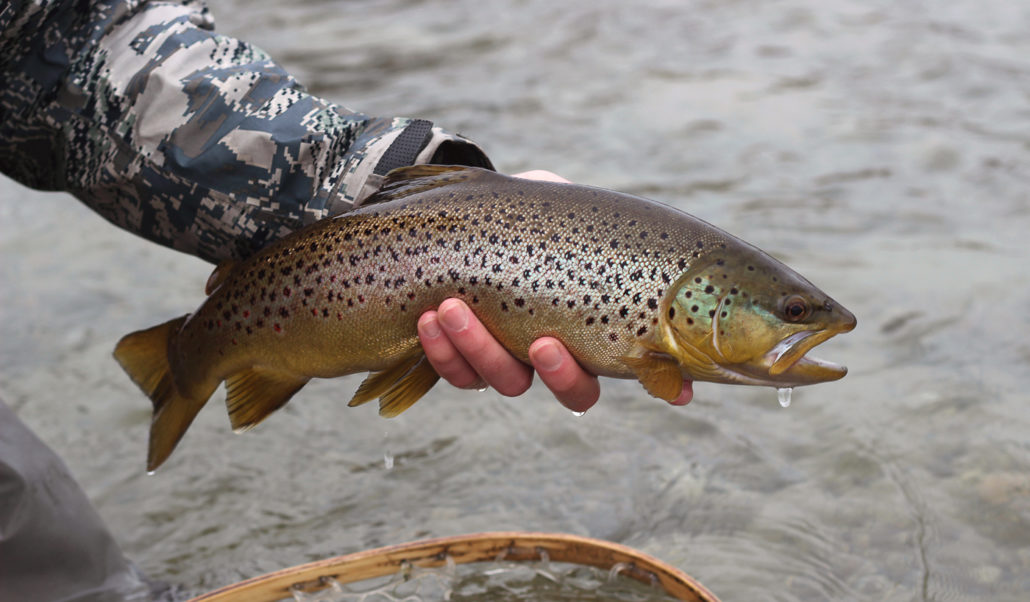 brown trout, montana, winter, wild, outdoors, streamers