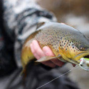 Streamer eating brown trout