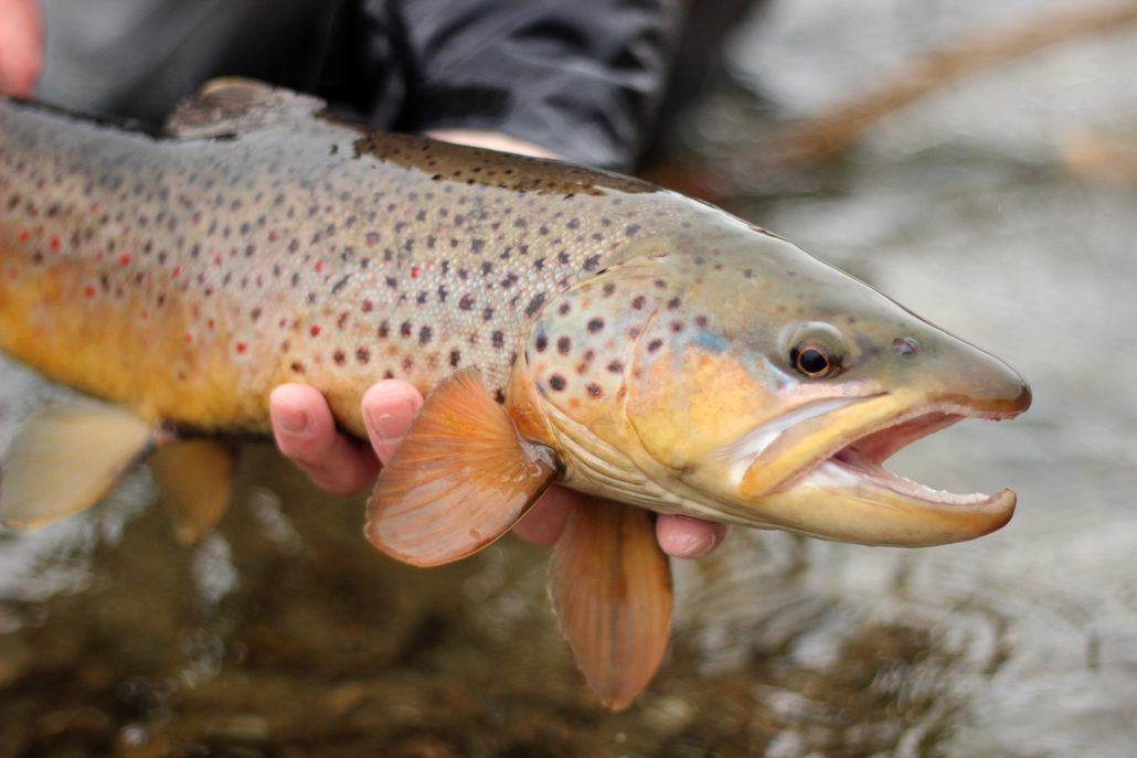 brown trout, montana, wild, streamer, rain, winter, outdoors, videos, 2013
