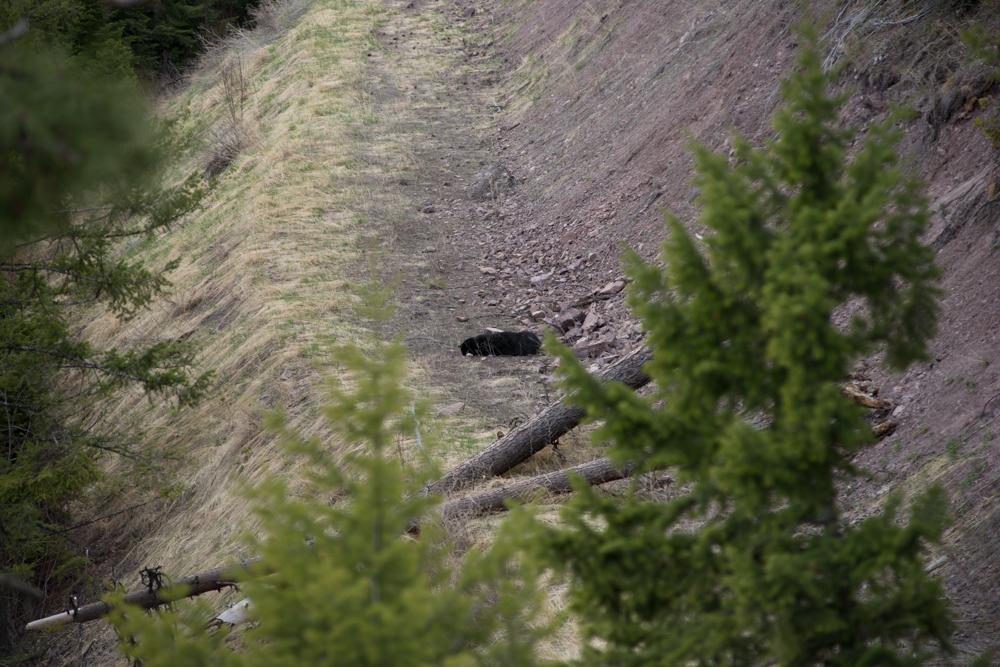 black, bear, hunting, montana, montana wild