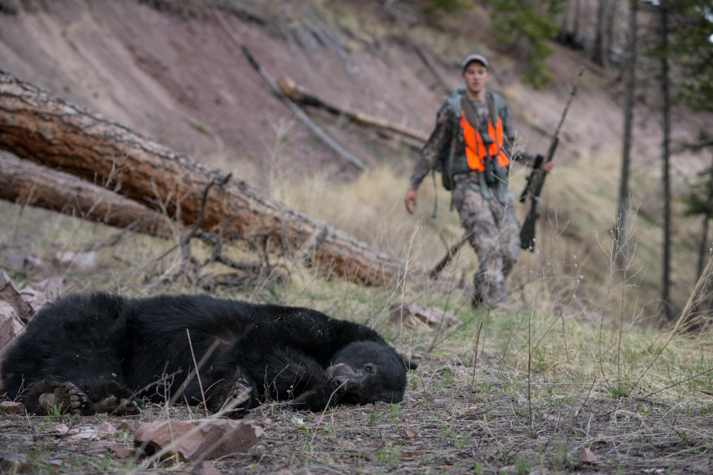 black, bear, montana, wild, spring, hunting, nikon, sitka, vortex, optics