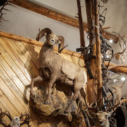 Alpine artistry bighorn sheep