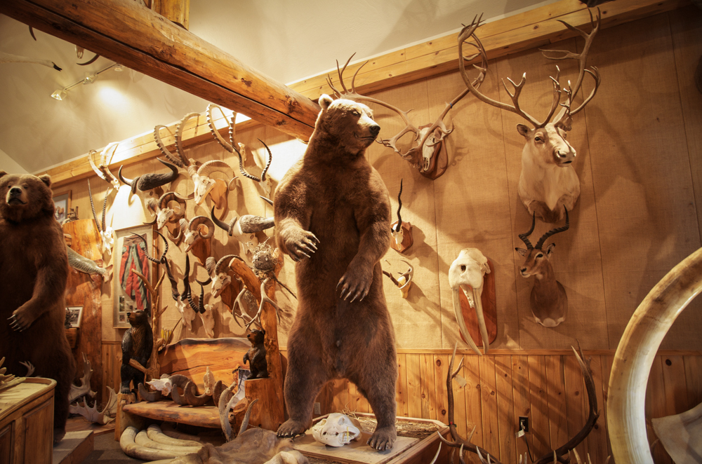 alpine artistry, shawn andres, taxidermy, montana, big game, elk, sheep, bear