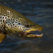 Monster brown trout