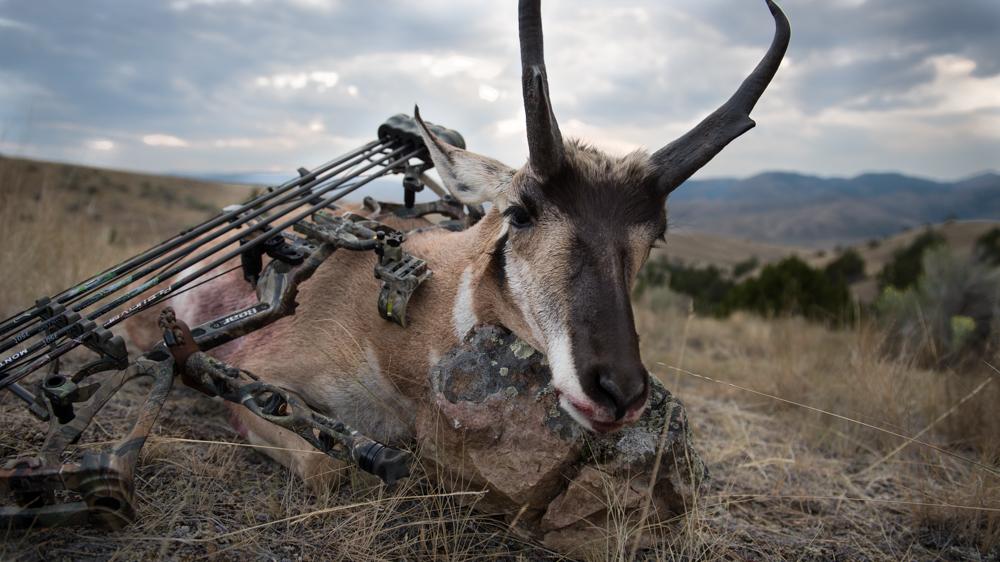 antelope, hunting, public, land, montana, wild, bear archery, buck