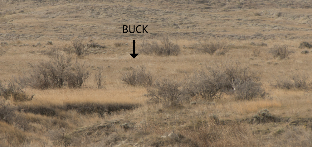 bedded, buck, mule, muley, deer, montana, rifle, season, wild