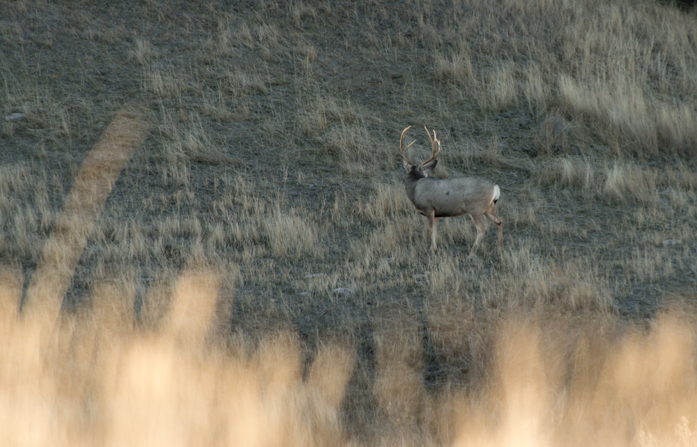 montana, mule deer, buck, grass, morning, rack, antlers