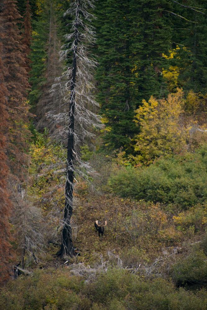 moose, bull, fall, montana