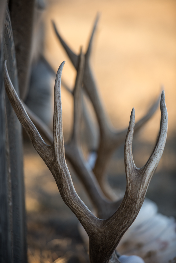 mule, deer, horns, antler, montana, wild, eastern, 4 point