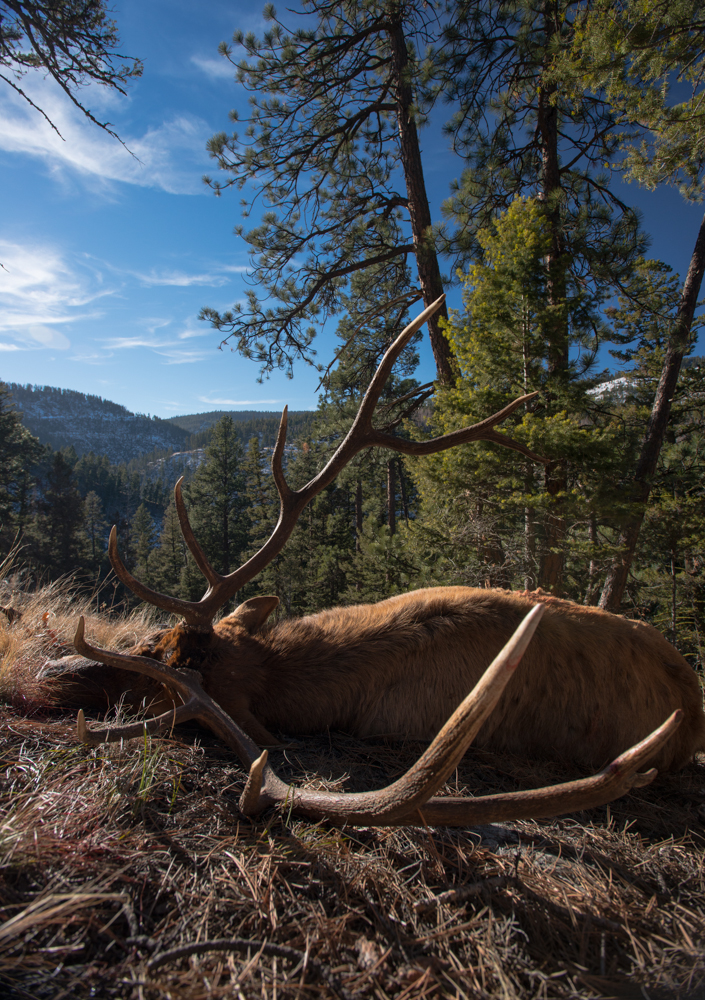 elk, bull, 300, inch, montana, wild, rifle, hunting, photo