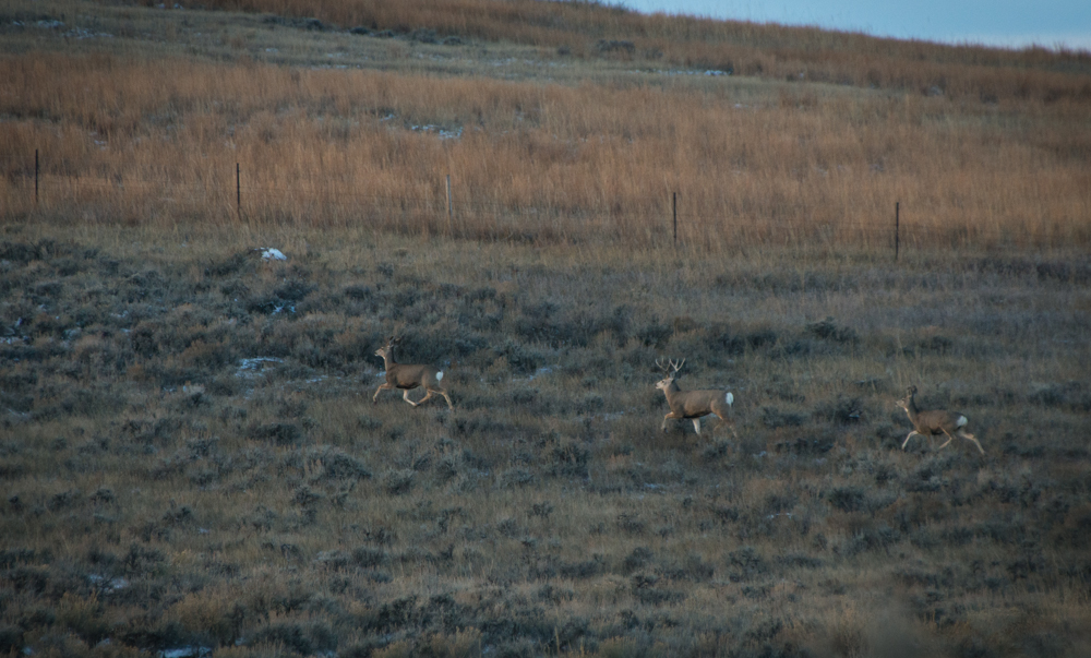 buck, 3x3, montana, muley, deer, buck, hunting, wild