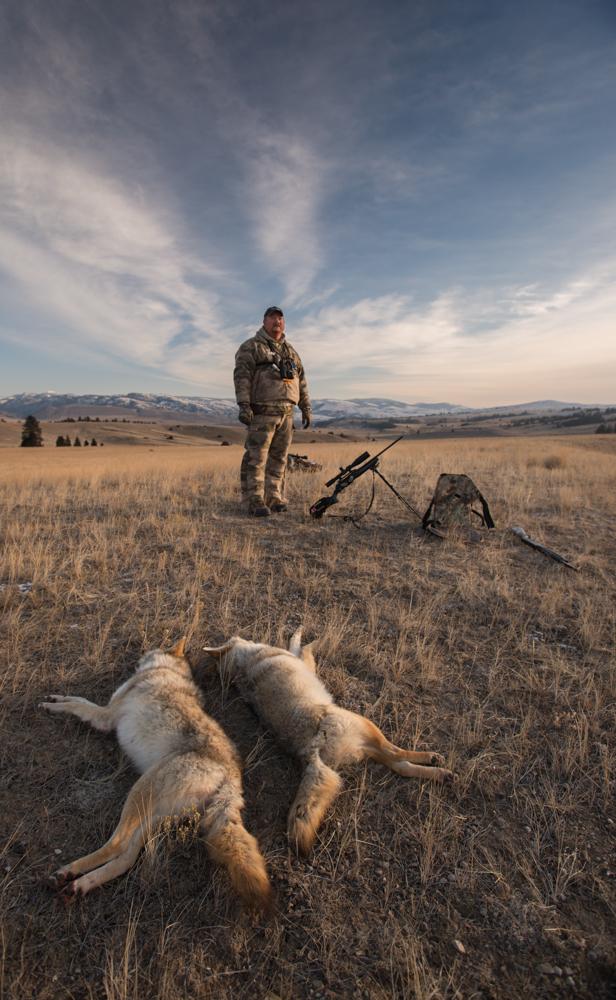 coyote, hunting, montana, wild, snow, predator quest, cabelas, vortex