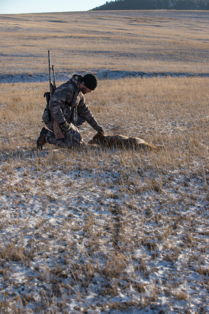coyote, hunting, montana, wild, snow