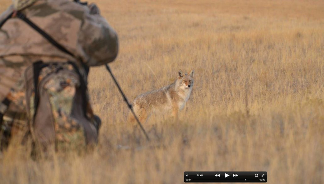 montana, coyote, hunting, snow, winter, film, video, predator quest