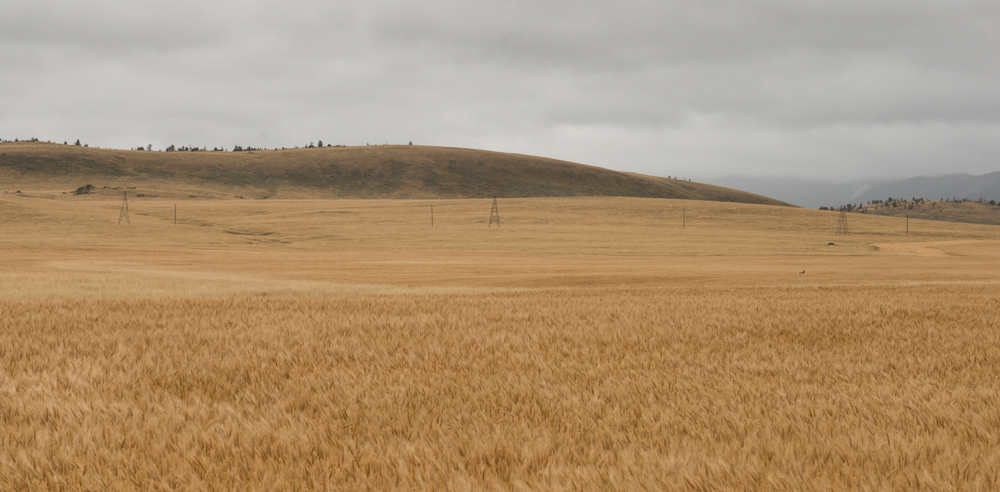 antelope, archery, wheat, field, montana, wild