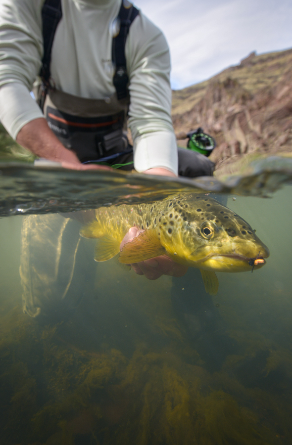 brown, trout, film, video, oregon, owyhee, beetle