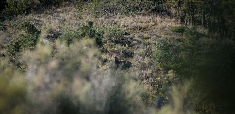 montana, wild, bull, elk, bowhunting, archery