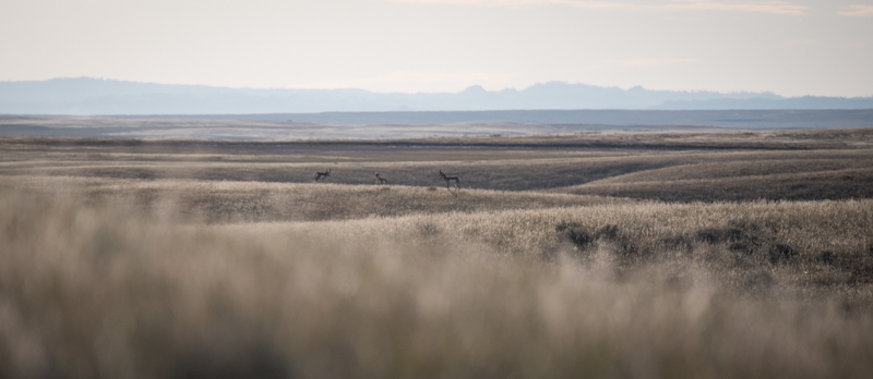 speed goat, montana antelope, antelope buck, mt buck, pronghorn