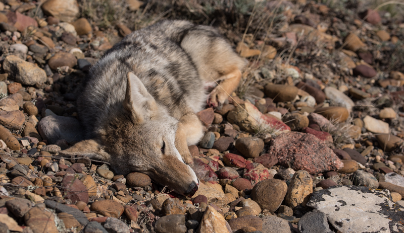 eastern mt coyote, mt coyote, montana coyote hunting, yote, antelope hunting