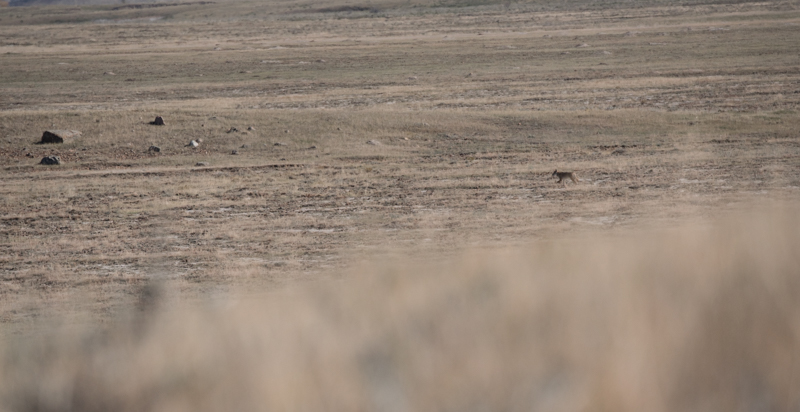 trotting coyote, coyote, coyote hunting