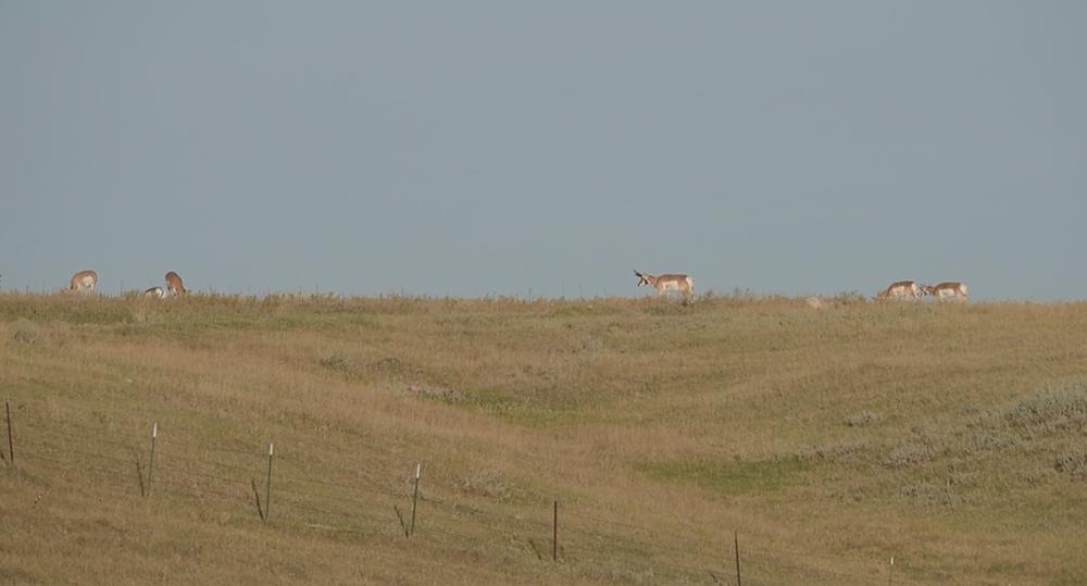 pronghorn, montana pronghorn, antelope montana, 406, rifle hunting