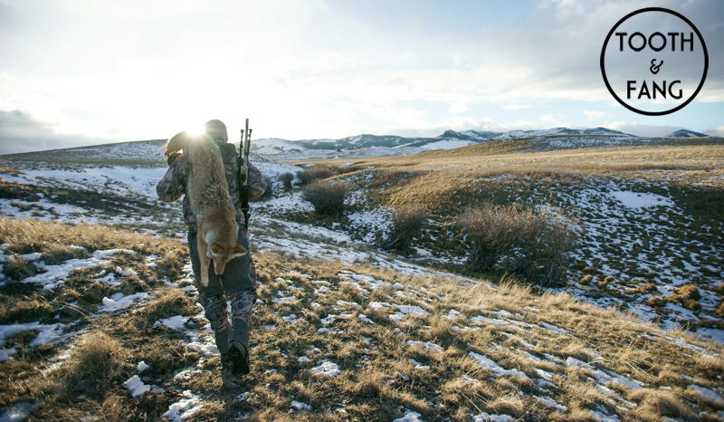coyote, hunting, film, montana, wild, predator, call, foxpro, shockwave, snowy mountain rifles, hsm ammo, the, hunting, shack, snow, camo, vortex, optics, viper, hslr, fhf, gear, 6xc, caliber, fur, shockwave