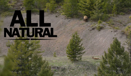 black bear, hunting, spring, montana, wild