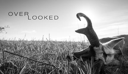 Overlooked, antelope, hunting, montana, antelope film