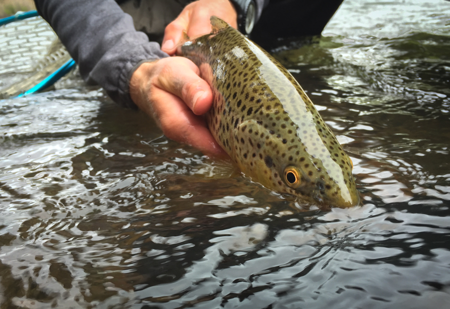 brown trout, bucknasty, montana, missoula, fishing, streamers, spring