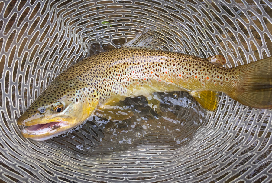 brown trout, bucknasty, montana, missoula, fishing, streamers, spring, wild