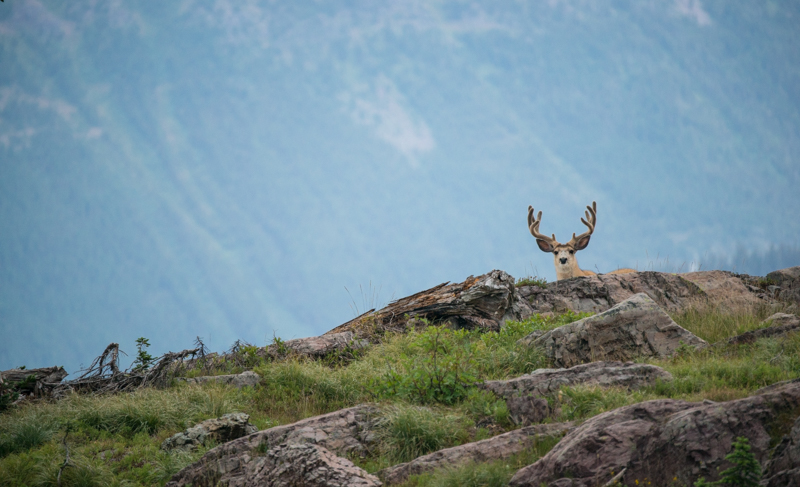 mule deer, scouting, mountains, high country, summer, mule deer scouting
