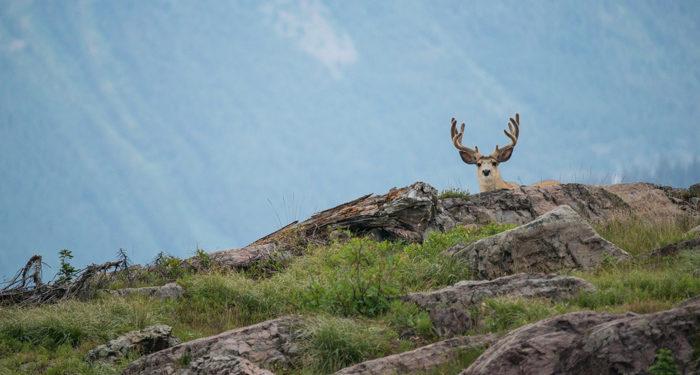 Mule deer scouting blog post