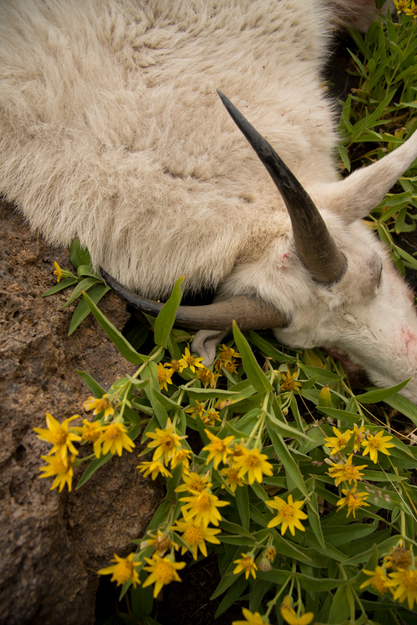 mountain goat, hunting, montana, wild, wildflowers, mountain goat hunting