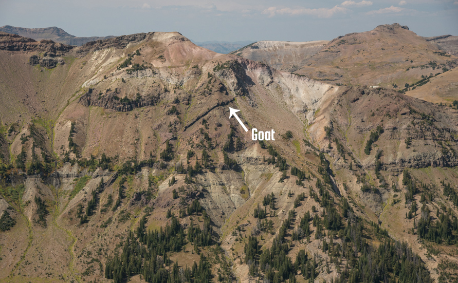 mountain goat, montana, hunting