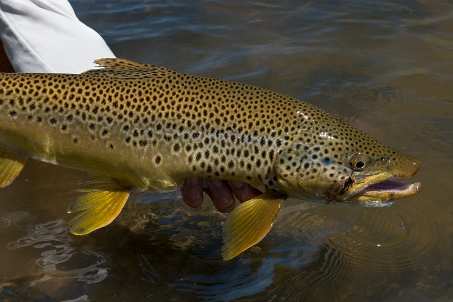 brown trout, huge, big, massive, montana, salmonfly hatch, film, video