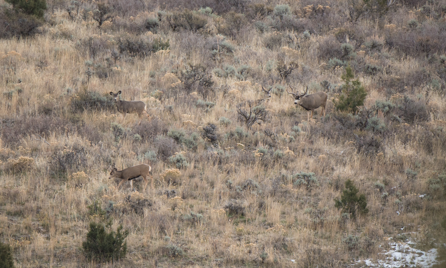 mule deer, deer, buck, hunting, late season, idaho