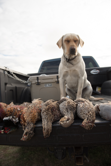 bird, dog, lab, montana, retriever, upland, pheasant, grouse, partridge