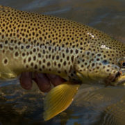 salmonfly, fishing, montana, brown trout
