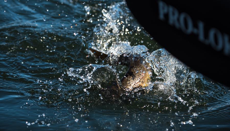 bighorn, river, montana, flyfishing, brown trout