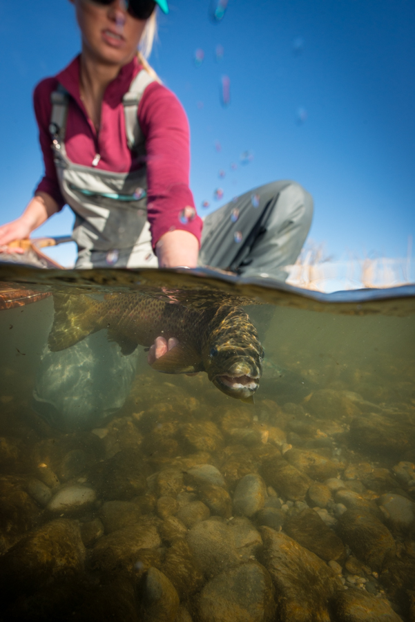 underwater photography, brown trout, montana, bighorn river, trout