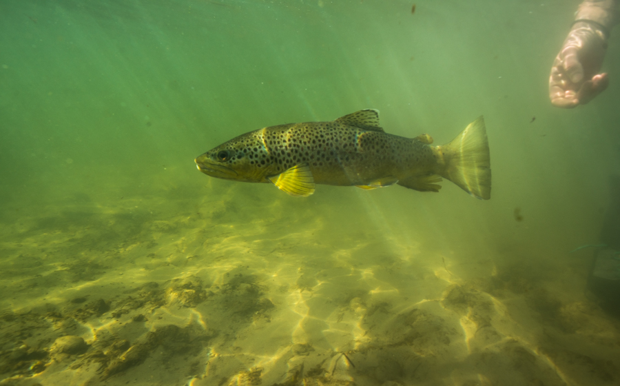 bighorn, river, montana, flyfishing, underwater photography, spring