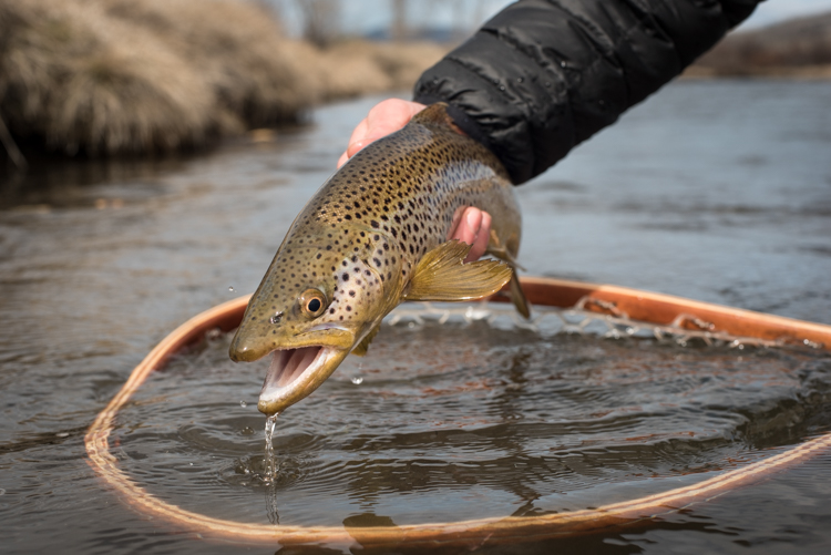 spring, fishing, montana, wild, brown trout, streamer