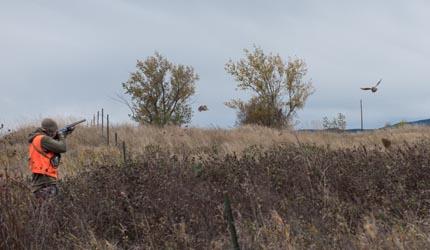 pheasant, upland, hunting, partridge, grouse, montana, wild, shotgun, antelope, pronghorn, hunt