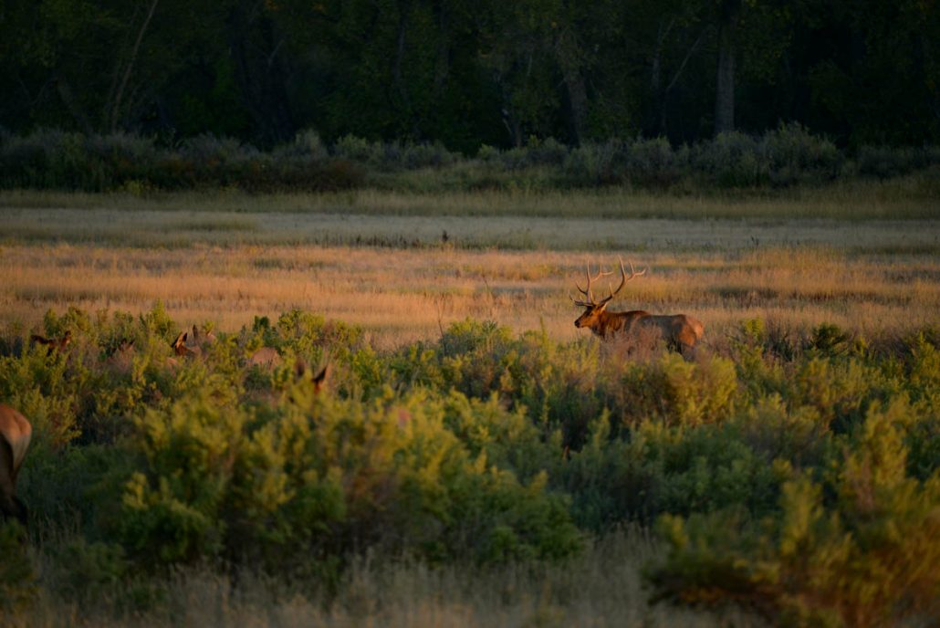 The Outlier iTunes, elk hunting, bull elk, hunting film, The Outlier, The outlier Film, Montana Wild, Montana, Bull down, public land, DIY, hunting, conservation, Rocky Mountain Elk Foundation, stoke, elk, wapiti