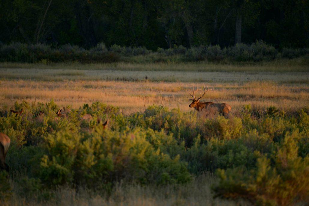 The Outlier iTunes, elk hunting, bull elk, hunting film, The Outlier, The outlier Film, Montana Wild, Montana, Bull down, public land, DIY, hunting, conservation, Rocky Mountain Elk Foundation, stoke, elk, wapiti