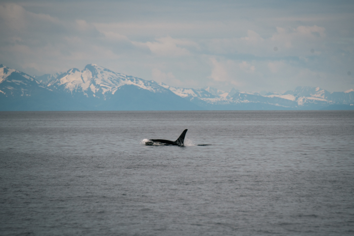 killer whale, fishing alaska, sockey salmon fishing, sockey, salmon, halibut, homer, AK, Alaska